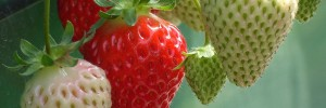 strawberry temp 2